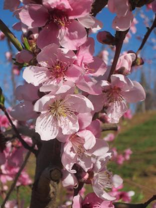 Nectarine blossoms_Fausel