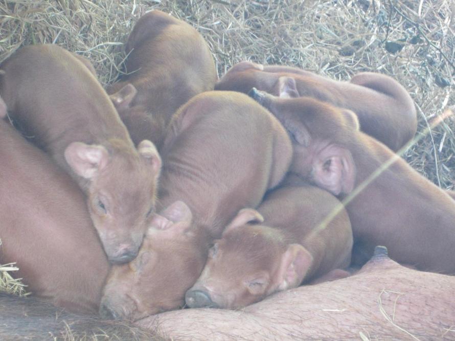 Piglets born 4_12.FullMoon