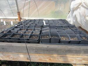 Warming those seedling trays in the small greenhouse.