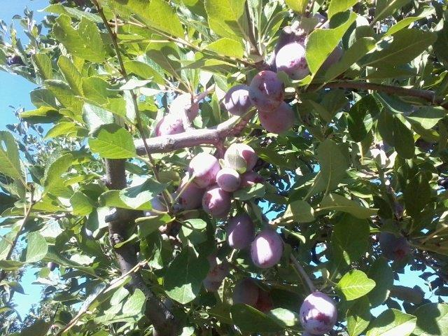 black-fryer-plums